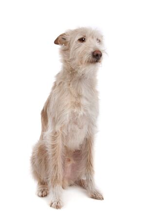 Podengo Portugues medio or Portuguese Hound in front of a white background Imagens
