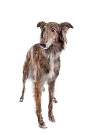 silken: Silken Windhound in front of a white background Stock Photo
