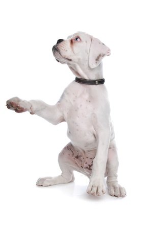 begging: white boxer puppy in front of a white background