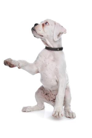 truc: witte boxer puppy voor een witte achtergrond Stockfoto