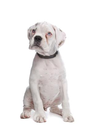perro boxer: cachorro boxer blanco delante de un fondo blanco Foto de archivo