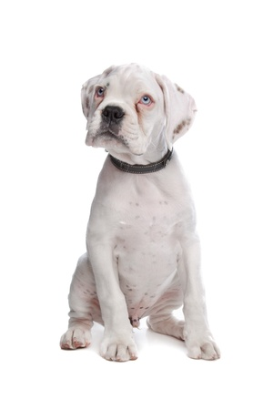 white boxer puppy in front of a white background