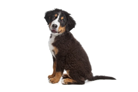 bernese mountain dog: Bernese Mountain Dog puppy in front of a white background Stock Photo