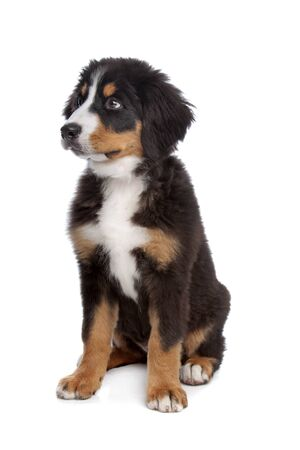 bernese dog: Bernese Mountain Dog puppy in front of a white background Stock Photo