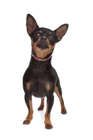 Miniature Pinscher in front of a white background Stock Photo - 10254513