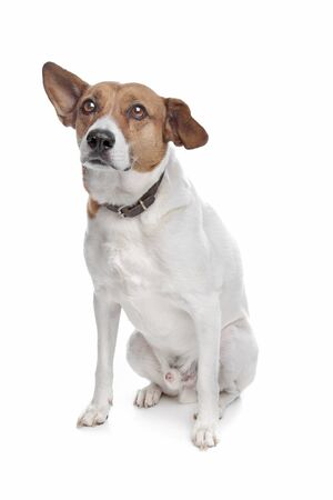 mixed breed jack russel terrier dog on a white background Stock Photo - 10254575