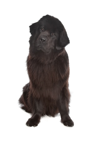 black giant: Newfoundland dog in front of a white background
