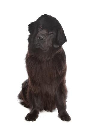 black and white newfoundland dog: Newfoundland dog in front of a white background