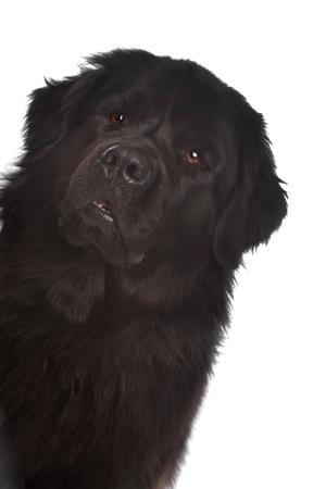 Newfoundland: Newfoundland dog in front of a white background