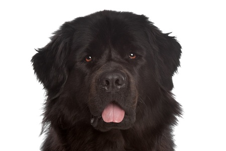 Newfoundland dog in front of a white background