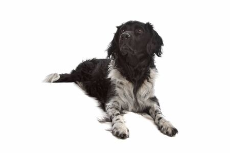 pure bred: Stabyhoun or Frisian Pointer in front of a white background