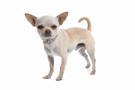 pure bred: short haired chihuahua in front of a white background