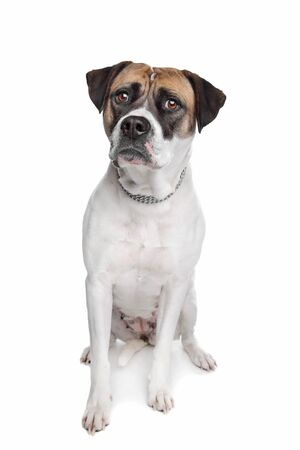 pure bred: American Bulldog in front of a white background