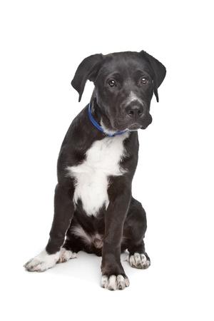 cane corso: Cane Corso cucciolo di fronte a uno sfondo bianco Archivio Fotografico