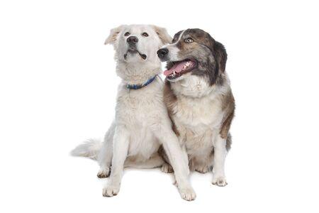 mountain dog: Aidi or atlas mountain dog in front of a white background