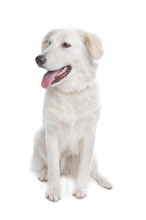 pure bred: Aidi or atlas mountain dog in front of a white background