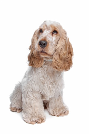 english cocker spaniel: English Cocker Spaniel in front of a white background