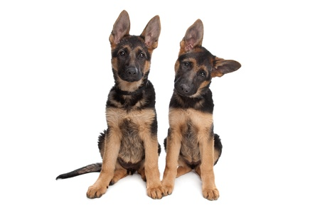 shepherd's companion: two German shepherd puppies in front of a white background Stock Photo