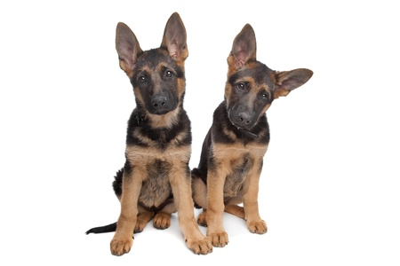 two German shepherd puppies in front of a white background Stock Photo - 10254855