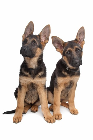 two German shepherd puppies in front of a white background photo