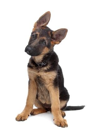 pastorcillo: Pastor alemán cachorro delante de un fondo blanco Foto de archivo