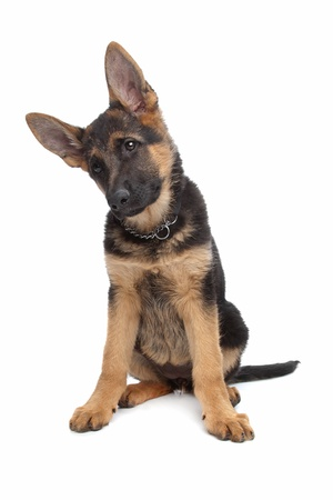 pups: German Shepherd puppy in front of a white background Stock Photo