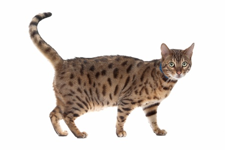Bengal cat in front of a white background