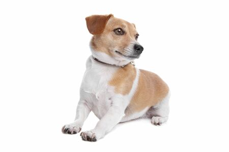 jack russel: Jack Russel Terrier dog in front of a white background