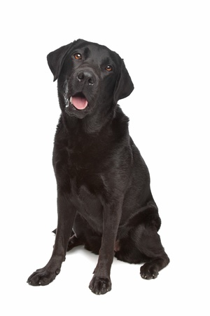 black labrador: Black Labrador in front of a white background