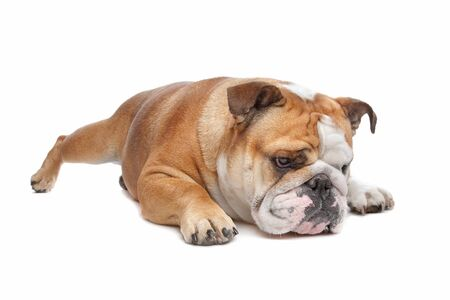 pure bred: English Bulldog in front of a white background Stock Photo