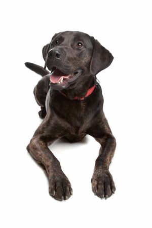 crossbreed: mixed breed dog, Labrador and rottweiler, in front of a white background Stock Photo