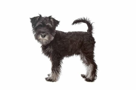 Miniature Schnauzer in front of a white background photo