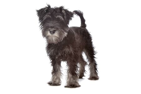 pure bred: Miniature Schnauzer in front of a white background