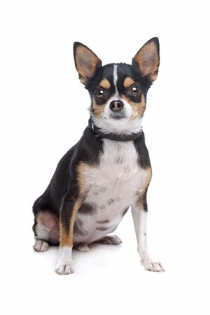 pure bred: short-haired tricolor Chihuahua in front of a white background