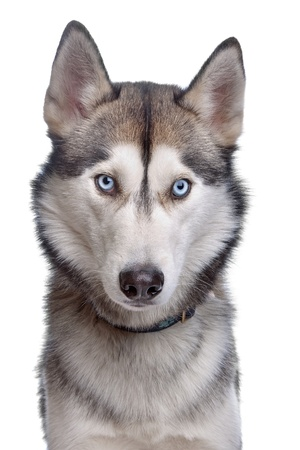 Siberian Husky in front of a white background Imagens - 10254971