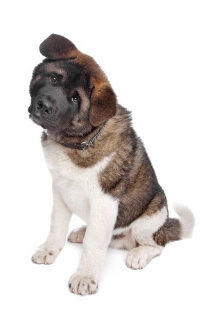 American Akita puppy dog in front of a white background photo