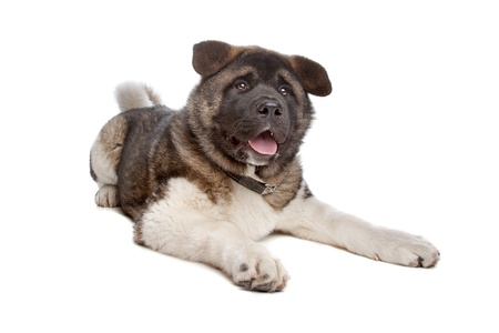 akita: American Akita puppy dog in front of a white background