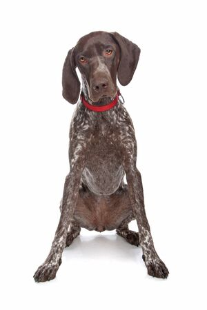 German Shorthaired Pointer in front of a white background photo