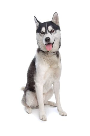 bred: Siberian Husky in front of a white background