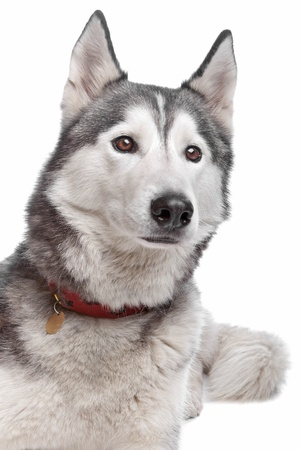pure bred: Siberian Husky in front of a white background