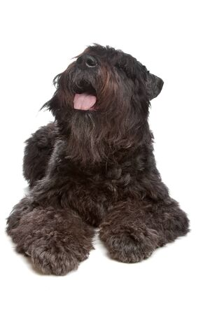 pure bred: Bouvier des Flandres in front of a white background