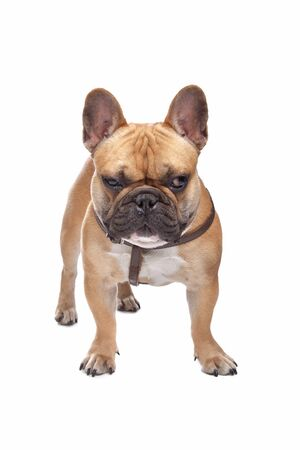 frenchie: French Bulldog in front of a white background