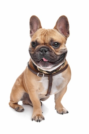 pure bred: French Bulldog in front of a white background