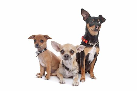 pure bred: three chihuahua dogs in front of a white background
