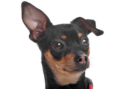 shorthaired: de pelo corto Chihuahua tricolor delante de un fondo blanco
