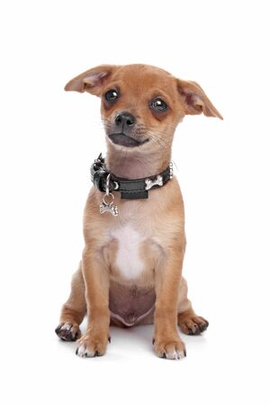shorthaired: short-haired Chihuahua puppy in front of a white background