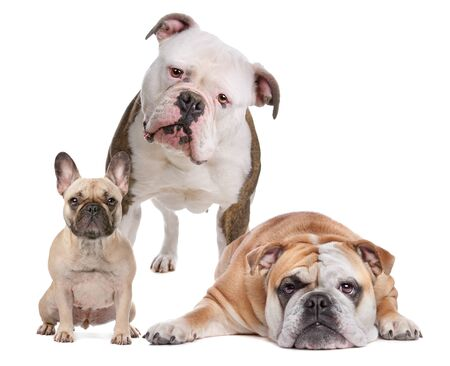 stitting: The Bulldog Family. French Bulldog,American Bulldog and English Bulldog