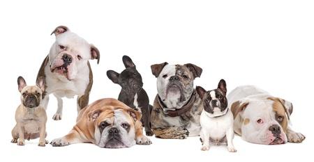 The Bulldog Family.American Bulldog,English Bulldog and French Bulldog Stock Photo