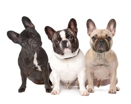 three French Bulldogs in a row on a white background Stock Photo - 10262743