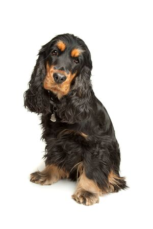 English Cocker Spaniel in front of a white background Stock Photo - 10276039